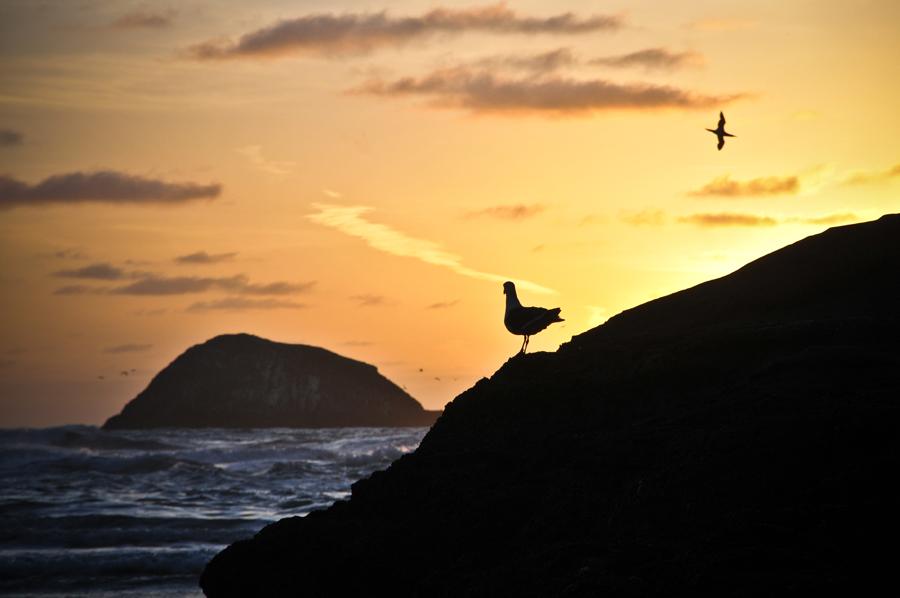 Seagull Maori Bay