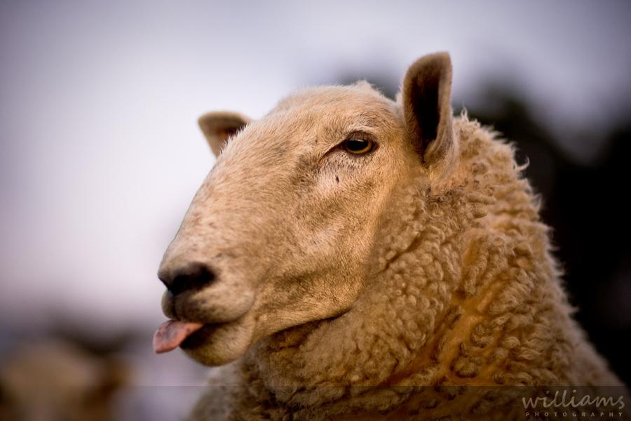 Sheep poking tongue