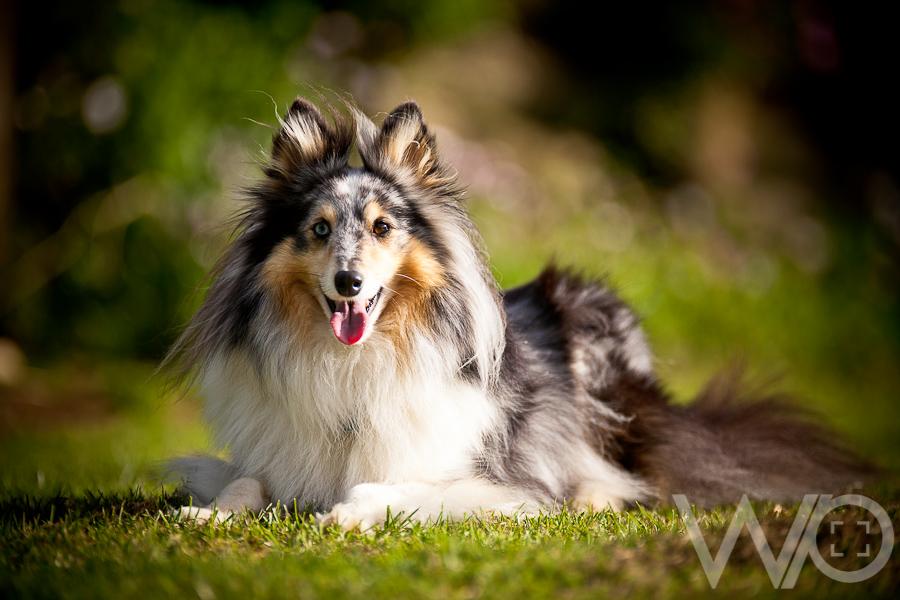 Beautiful Shetland Sheepdog