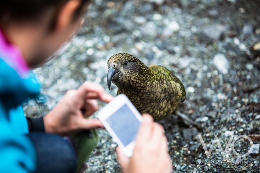 Kea - NZ Mountain Parrot - Fiordland