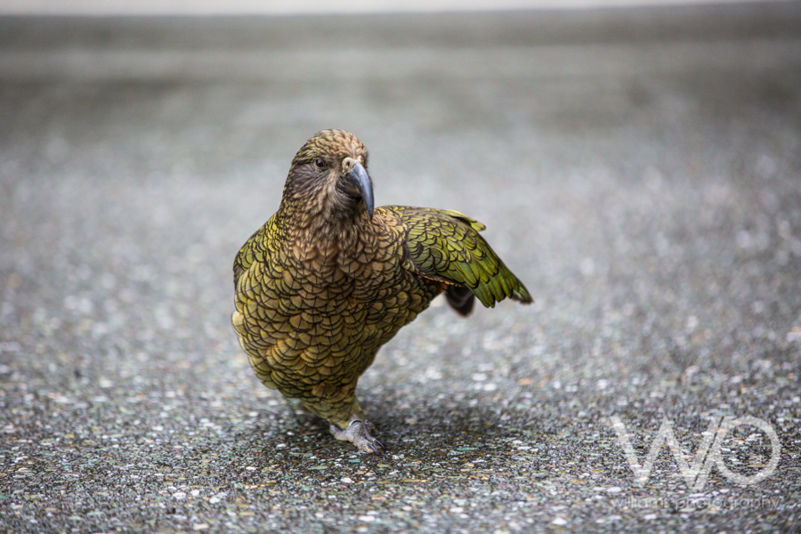 Kea - NZ Mountain Parrot - Fiordland